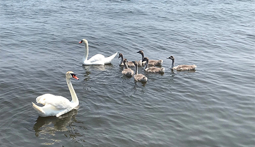 Holzapfel, McGuckin & Catalano Praise Rescue & Relocation of Alfie the Swan