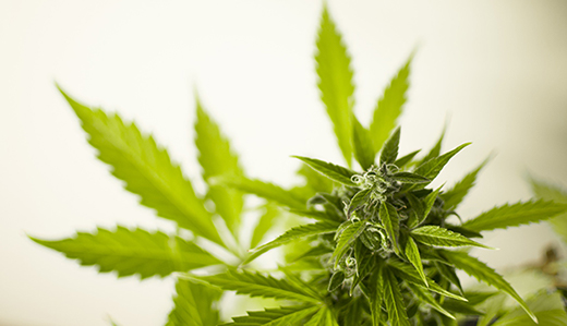 "Sen. Declan O'Scanlon released details of his ""wish list"" medical marijuana program expansion legislation. (Pixabay)"